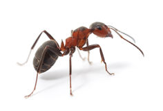 Isolated Red Ant. Big forest ant on white background Royalty Free Stock Photos