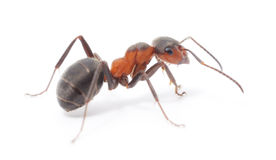 Isolated Red Ant. Big forest ant on white background Stock Photos