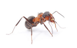 Isolated Red Ant Royalty Free Stock Image