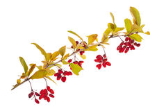 Isolated red berberries branch Stock Photography