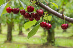 Isolated red cherries on tree in cherry orchard. Closeup of isolated red cherries on tree in cherry orchard Royalty Free Stock Photography