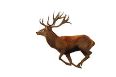 Isolated red deer running Stock Photography