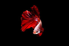 Isolated red flame fighting fish on the black background. Isolated red flame fighting fish on the black background, swimming Royalty Free Stock Image