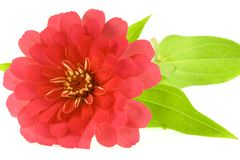 Isolated red flower stock photo
