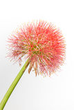 Isolated Red Flower Stock Images