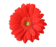 Isolated red gerbera Royalty Free Stock Photo
