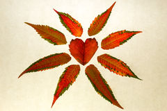 Isolated red heart-shaped leaf on white. Close up of isolated red heart-shaped leaf on white paper symbolizes love and the beauty of fall Stock Images