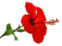 Isolated red hibiscus Stock Photos