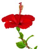 Isolated red hibiscus Stock Images