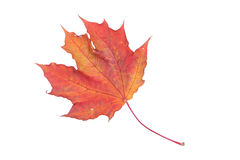Isolated red leaf. Red autumn maple leaf on a white background Royalty Free Stock Image