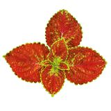 Isolated red leaves Royalty Free Stock Image