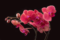 Isolated red orchid Royalty Free Stock Photo