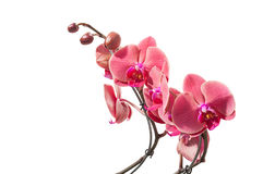 Isolated red orchid Stock Photo