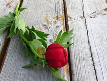 Isolated red peony with green leaves on wood timber background. Postcard, greeting card, love, romantic concept. Floral wallpaper or background royalty free stock photos