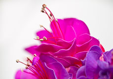 Isolated red pink flower Royalty Free Stock Image