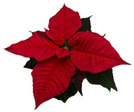 Isolated red poinsettia. Picture of isolated red poinsettia stock photos