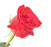 Isolated red rose Royalty Free Stock Photos