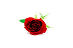 Isolated red rose. Red rose isolated on a white background Stock Images