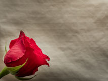Isolated red rose blossom on neutral background Stock Photography