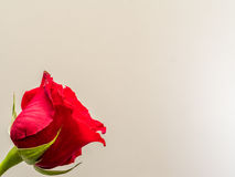 Isolated red rose blossom on white background Royalty Free Stock Photography