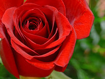 Isolated red rose with green background Royalty Free Stock Photography