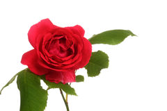 Isolated red rose Stock Image