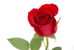 Isolated red rose on white background Royalty Free Stock Images