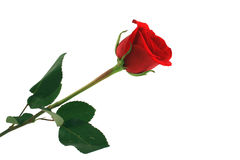 Isolated red rose on white background Royalty Free Stock Photos
