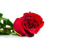 Isolated red rose. An isolated red rose on a white background royalty free stock images