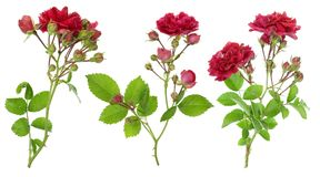 Isolated red roses branches set Stock Photo