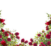Isolated red roses. On white background royalty free stock photo