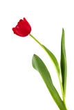 Isolated Red Tulip Stock Photography