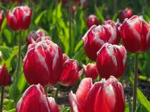 Red Tulips with White Edges royalty free stock images