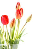 Isolated red tulips Stock Photos
