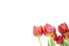 ISOLATED RED TULIPS WHITE BACKGROUND Royalty Free Stock Images