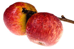 Isolated red, wet apples on the branch. Red apples on white background Royalty Free Stock Image
