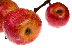 Isolated red, wet apples on the branch. Red apples on white background Royalty Free Stock Images