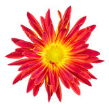 Isolated red and yellow mum on white Stock Image