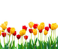 Isolated Red and Yellow Tulips Stock Images