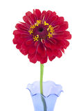 Isolated red Zinnia Royalty Free Stock Image