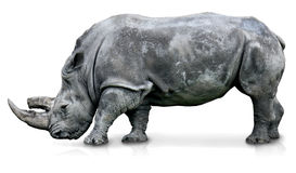 An isolated rhino i Stock Photos