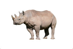 Isolated rhinoceros Royalty Free Stock Image