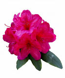 Isolated Rhododendron Flowers Royalty Free Stock Images