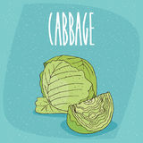 Isolated ripe green cabbage vegetable. One huge whole ripe green cabbage vegetable, near beautifully cut piece. Visible pulp. Isolated background. Realistic hand Stock Photography