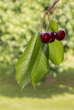 Isolated ripe red cherries in cherry orchard. Closeup of isolated ripe red cherries in cherry orchard Stock Photography
