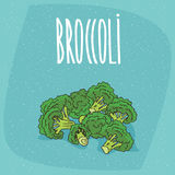 Isolated ripe vegetables broccoli stalks. Group of several ripe vegetables broccoli stalks. Beautifully cut, visible section. Isolated blue background. Realistic Royalty Free Stock Photos