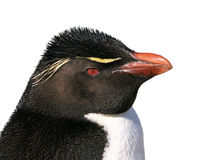 Isolated rockhopper penguin Royalty Free Stock Photos