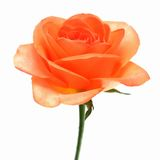 Isolated romantic vintage rose Royalty Free Stock Images
