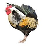 Isolated rooster royalty free stock photo