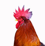 Isolated rooster Royalty Free Stock Photography
